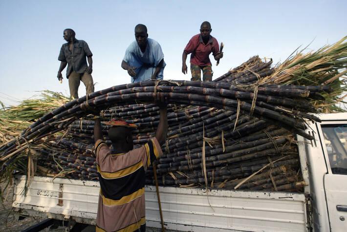 Raccolta canna da zucchero in Nigeria - Foto FAO